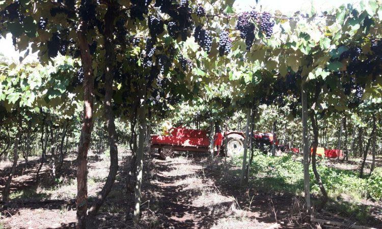 Valor do quilo da uva não agrada produtores