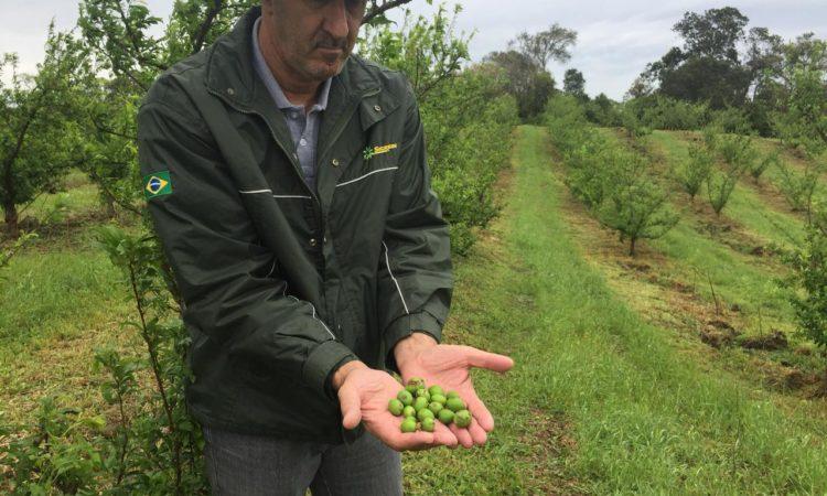 Granizo leva prejuízos para agricultores dos Campos de Cima da Serra